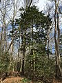 2016-03-01 13 47 47 American Holly within Fred Crabtree Park in Reston, Fairfax County, Virginia.jpg