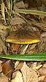 2016-06-07 Baorangia pseudocalopus (Hongo) G. Wu & Zhu L. Yang 624056.jpg