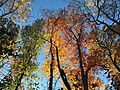 2017-11-10 15 59 03 View up into the canopy of several trees during late autumn within Hosepen Run Stream Valley Park in Oak Hill, Fairfax County, Virginia.jpg