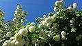 20180525 144004 цветет калина.jpg