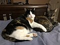 2020-04-19 22 46 39 A Calico cat and a tabby cat cuddling on a bed in the Franklin Farm section of Oak Hill, Fairfax County, Virginia.jpg