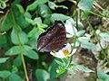 303黑擬蛺蝶3(蔡鴻銘攝) (12944354385).jpg