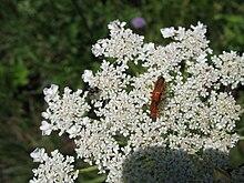 3120 - Schaan-Vaduz - Rheindamm - Apiaceae.JPG