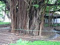 500 year old tree in Havana Forrest - panoramio.jpg