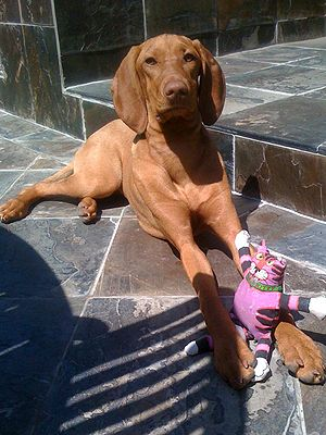 English: 5-month-old Vizsla with the AKC stand...