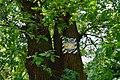 80-361-5034 Kyiv Rylskogo Oak SAM 0174.jpg