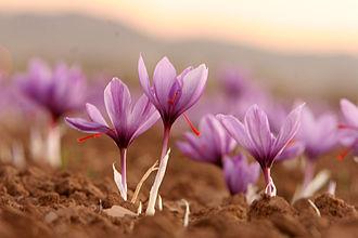 Saffron - Saffron flowers