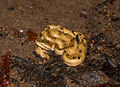 8695 - Hump-nosed pit viper.jpg