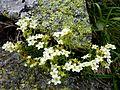 ARENARIA GRANDIFLORA - GENTO - IB-851 (Arenària de flor gran).JPG