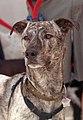 A Brindle dog.jpg