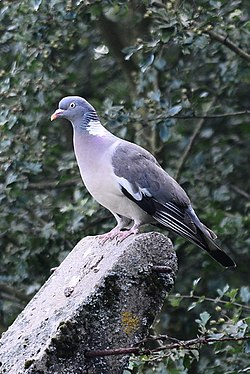 A Local Wood Pigeon.JPG