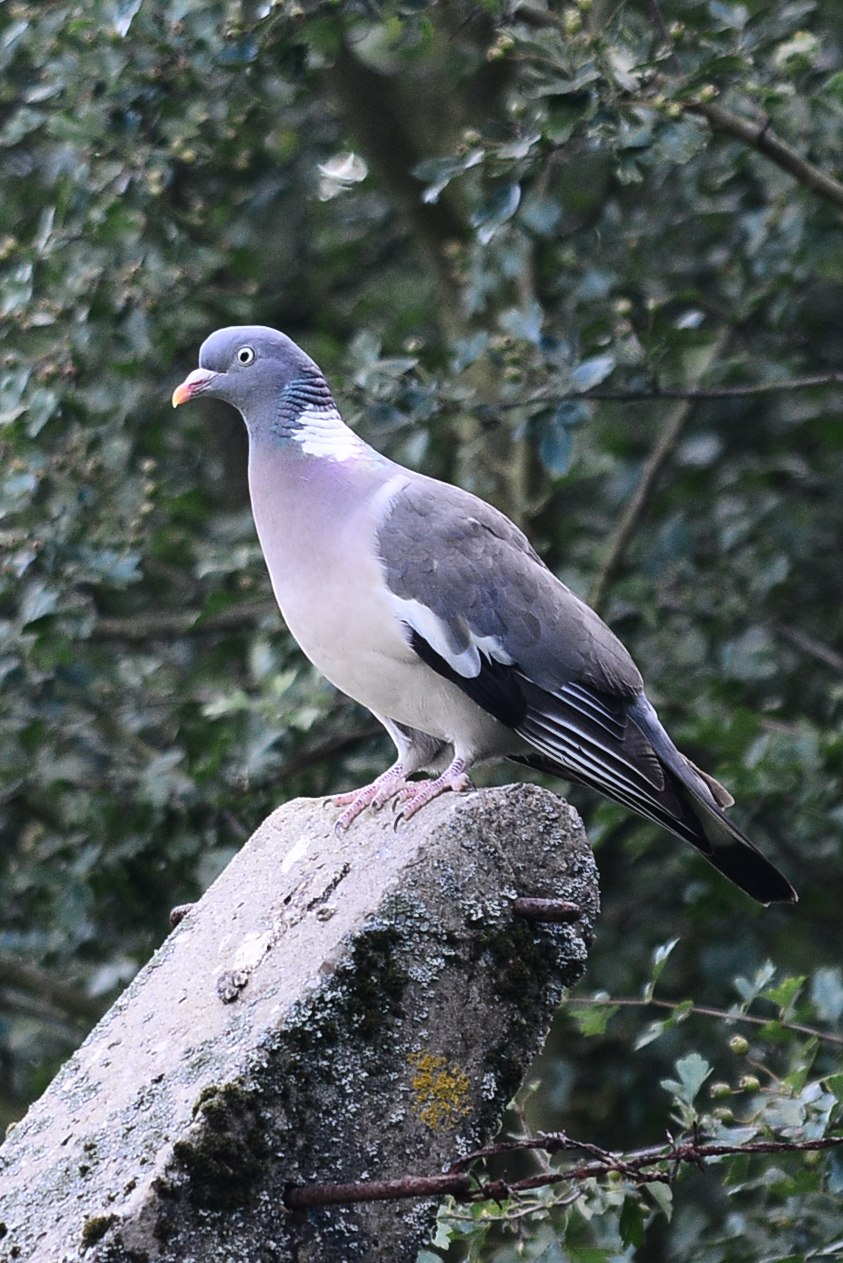 A Local Wood Pigeon