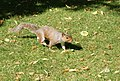 A bold squirrel in Regents Park - geograph.org.uk - 1370470.jpg