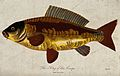 A carp. Coloured engraving by J. Pass. Wellcome V0020938.jpg