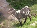 A goat in Renai Nantou.jpg