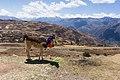 A llama in Cusco Region 2019-10-10.jpg