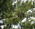 A pine and cones at Gibberd Garden Essex England 02.JPG