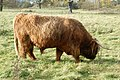 A placid Highland bull grazing near Hatton locks (1) - geograph.org.uk - 1587819.jpg