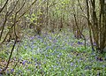 A thin carpet of bluebells - geograph.org.uk - 1274342.jpg