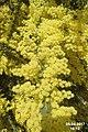 Acacia (SG) (33909377735).jpg