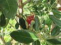 Acca sellowiana buds.jpg