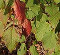 Acer capillipes Blatt.jpg