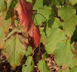 Red snakeskin maple (Acer capillipes)