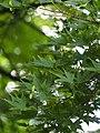 Acer palmatum Klon palmowy 2018-06-10 02.jpg
