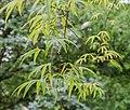 Acer pentaphyllum in Hackfalls Arboretum (2).jpg