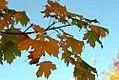 Acer platanoides Emerald Lustre 0zz.jpg