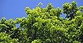 Acer saccharum (sugar maple) 7 (44512502060).jpg