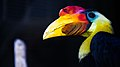 Aceros corrugatus -San Diego Zoo, California, USA -male-8a.jpg