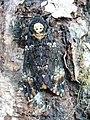 Acherontia atropos 07 (Harald Süpfle).jpg