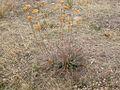 Achillea millefolium (3287025089).jpg
