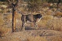 Een mannelijke cheetah staat met opgeheven staart en markeert een boomstam met zijn urine