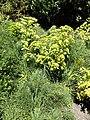 Aciphylla dieffenbachii kz04.jpg
