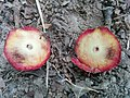 Acorn Plum Gall, cut in half, with larva.jpg
