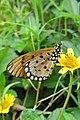 Acraea violae - Tawny Coster at Peravoor (1).jpg
