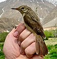 Acrocephalus orinus Tajikistan (cropped).jpg