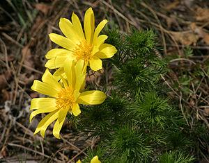 Adonis vernalis - Image: Adonis vernalis gonsenheim