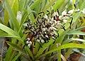 Aechmea servitensis kz02.jpg