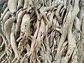 Aerial roots in Chittanna Vasal.jpg