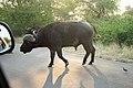 African Buffalo (38104332526).jpg