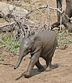 African Elephant (Loxodonta africana) calf running to the waterhole ... (32350691695).jpg
