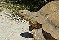 African Spurred Tortoise (Centrochelys sulcata) male (9175264599).jpg