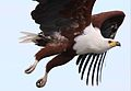 African fish eagle, Haliaeetus vocifer, at Chobe National Park, Botswana (32832147013).jpg