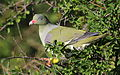 African green pigeon, Treron calvus, Kruger main road near Punda Maria turn-off, Kruger National Park, South Africa (26186636726).jpg