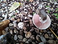 Agaric trottoir Paris.jpg