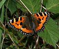 Aglais urticae (Small Tortoiseshell) - Flickr - S. Rae (1).jpg