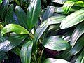 Aglaonema nitidum 1 Botanical Garden Heidelberg.JPG